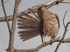 Brown Goshawk (Accipiter fasciatus)-1023 (rawshorty) Tags: birds australia canberra act rawshorty