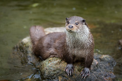 Zoo de Temara - Otter (aminefassi) Tags: nature water animal canon zoo morocco maroc otter 5d rabat ef70200mmf28 loutre temara loutrenaine aminefassi zoodetemara