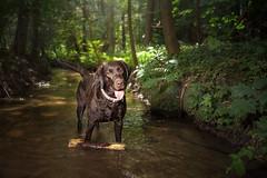Beaver (Tomas.Kral) Tags: dog pet cute nature water animal river puppy lab labrador flash beaver lightning strobe speedlite brownlabrador strobist yn560ii