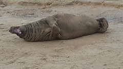 Tickled with laughter (Dan-Piercy) Tags: greyseal donnanook