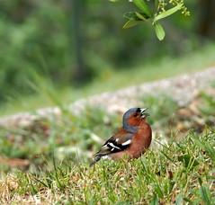 Fringuello (quarzonero ...Aldo A...) Tags: fringuello bird nature natura fringillacoelebs coth5 sunrays5