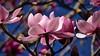 Pink magnolia blossom (Tomas Sobek) Tags: abundance blossoming bluesky bold botanicalgarden bush dunedin flowers magnolia many multitude newzealand otago petals pink plant spring tree pinkmagnoliablossom