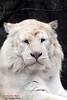 weißer Tiger - white Tiger (Noodles Photo) Tags: pantheratigristigris whitebengaltiger whitetiger bengalischertiger holtestukenbrock säugetier carnivora cat raubtier safaripark felidae groskatze
