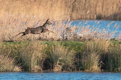 Roe deer at gallop (Andrew_Leggett) Tags: roedeer capreoluscapreolus running gallop sunshine winter water reeds pottericcarr andrewleggett