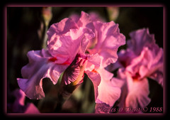 Pink Iris (ctofcsco) Tags: 35105mm black blooming blooms canon ef35105mmf3545 eos eos620 explore film green iris iso64 macro pinkiris scannedimage slide slidefilm spring unitedstates usa freeland geo:lat=3970576800 geo:lon=7668305622 geotagged maryland canoscan9000fmarkii flower plant analog scan scanned analogue archive argentic scans image photo 9000f canoscan esplora renown pretty pic explored