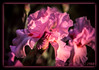 Pink Iris (ctofcsco) Tags: 35105mm black blooming blooms canon ef35105mmf3545 eos eos620 explore film green iris iso64 macro pinkiris scannedimage slide slidefilm spring unitedstates usa freeland geo:lat=3970576800 geo:lon=7668305622 geotagged maryland canoscan9000fmarkii flower plant analog scan scanned analogue archive argentic
