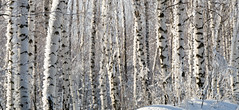 Winter landscape (konstantin.radchenko) Tags: birch background forest winter white tree black bark nature trunk landscape grove beauty pattern season group wood environment scenic tranquil peaceful natural harmony beautiful
