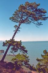 analog pine (Riex) Tags: pine sapin tree arbre bay baie sfba park california sanfranciscobay coyotepointpark parc nature californie bessaflex tm m42 28mm film reflex screwmount analog analogue silverhalide cn200 agfa agfaphoto agfacolor pancakelens optomax mc f28 cosinavoigtlander