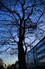 Project 365; #20; Blue Hour Tree (iMalik1) Tags: project 365 oneimageaday onepictureaday onepicaday onephotographaday photographoftheday photograph day blue hour morning sunrise after tree nature upwards angle perspective dead winter cold frosty sky clouds commute walk walking work silhouette black imalik canon eos m3 mycanon uk canonuk canonwhatelse
