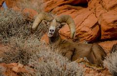 Spots-13 (QuakeUp!) Tags: 2017 colinjmcmechanphotography desertbighornsheep nevada nikond7000 spots tamron150600 usa valleyoffirestatepark desert ram sandstone wildlife
