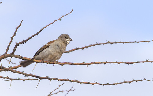 Grey-headed Sparrow , with prey, moth of some kind, 4849