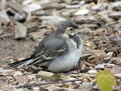 Pied Wagtail (Peanut1371) Tags: piedwagtail wagtail bird black white grey nationalgeographicwildlife