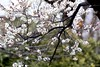 Early blooming Ume - Japanese apricot blossom (joka2000) Tags: ume 梅 japaneseapricot