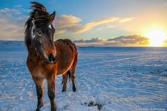 Íslenski hesturinn (Leifur Auðunsson) Tags: jul christmashorse christmas beautifulhorse coldimages coldpictures sunset sunlight horse december colddecember winter iceland icalandichorse