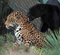 jaguar Mowgli and Rica Artis JN6A3817 (j.a.kok) Tags: jaguar pantheraonca rica mowgli artis predator mammal cat kat zuidamerika southamerica blackjaguar spottedjaguar zoogdier