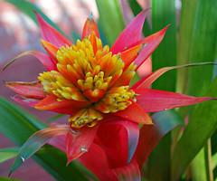 Key West (Florida) Trip 2016 0042Ri 5x6 (edgarandron - Busy!) Tags: florida keys floridakeys keywest flower flowers higgsbeach