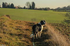 The End of the Year (sharongellyroo) Tags: walkies glemsford gellywalk suffolk winter dodge bordercollie rescue
