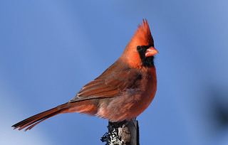 Cardinal rouge ♂ Northern cardinal (2017-01-10)