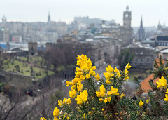 Gorse with Edinburgh Behind (john atte kiln) Tags: winter branches twigs scotland edinburgh britain unitedkingdom uk gorse flowers bokeh town houses terrace cemetry church steeple castle edinburghcastle yellow yellowgreen greenyellow prickley prickles