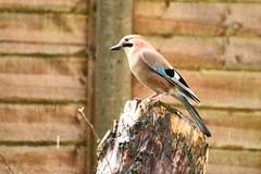 Jays perch (gdog00) Tags: birds garden jay