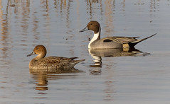 Elegant Couple (tresed47) Tags: 2017 201701jan 20170104bombayhookbirds birds bombayhook canon7d content delaware ducks folder northernpintail peterscamera petersphotos places takenby us ngc npc