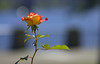 In The Morning (swong95765) Tags: rose flower bokeh morning beauty pretty fragrant lovely visual peaceful love