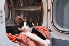 Happy Caturday :-) (ElenaK@Chicago) Tags: spike laundryday nikond810 nikon2470mmf28