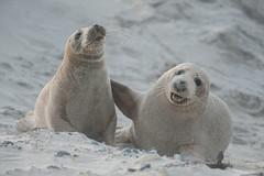 Best friends (Karsten Höhne) Tags: lila helgoland kegelrobbe sand jung lustig nordsee natur