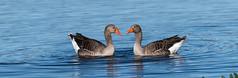 Courting Couple (steve waddingham Follow Me Follow You) Tags: stevenwaddinghamphotography bird wild mate nature gander