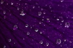 Purple Rain (Sébastien Vermande) Tags: canon7d france midipyrénées lot bokeh flower fleur waterdrop gouttedeau beads perles drop droplets nature macro hiver winter macrophotography macrolens macrophotographie sigma150exdg vermande