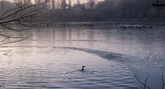 balade en eaux froides (1) (janssen.bruno) Tags: janssenbruno canon600d tamron18200 oiseaux gel hiver allnaturesparadise