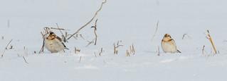 Plectrophanes des neiges