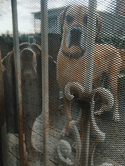 23/365 (moke076) Tags: 2017 365 project 365project project365 oneaday photoaday cell cellphone iphone mobile dog dogs screen door screened security metal moose pet animal friends buddies great dane tanner looking through chocolate lab labrador retriever house home back yard porch