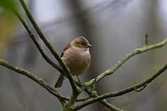 Waiting For Food ! (Andrew Laws) Tags: animal outdoors small nature uk north east wildlife fauna dof defocus depth bokeh nikon d7100 sigma 70300mm chaffinch