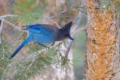 Steller's Jay (Andrej Chudy) Tags: bird birding birdwatching outdoor wild wildlife blue tree jay pine usa america travel sierranevada trip canon600mmf4isusm canon1dmarkiv california aves spring black