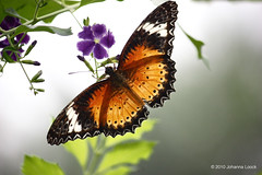 """Viceroy Butterfly (Aruba) (runintherain) Tags: runintherain canon450dxsi canon canonxsi caribbean lesserantilles flora nature outdoor animals butterflies bokeh details flowers aruba """"netherlands"""" abcislands dutchcaribbean arubabutterflyfarm oranjestad"""