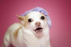 Like, honestly dude? (mircoLITRATO) Tags: funny dog dogs pets ellen chihuahua breed calgary alberta