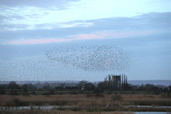European Starling - Sturnus vulgaris (Roger Wasley) Tags: european starling sterns vulgaris murmuration avalon marshes somerset birds england british