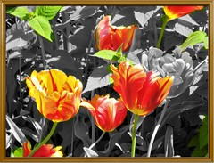 SLIDING THESE TULIPS WITH SELECTIVE COLOR (Visual Images1) Tags: hss slidersunday tulips selectivecolor frame