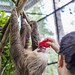 Hoffmann's two-toed sloth Gamboa Wildlife Rescue pandemonio 2017 - 25