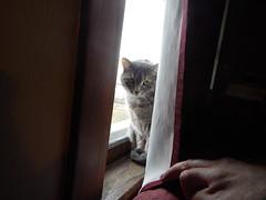 (mestes76) Tags: 033016 duluth minnesota cats pets fetty fettucini windows windowsill