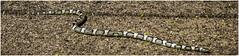 Western Long-nosed Snake (Sugardxn) Tags: arizona photoshop desert tucson reptile snake critter wildlife az animalplanet tohonochul rhinocheilus westernlongnosedsnake canoneos7d canon7d sugardxn garypentin rhinocheilusleconteilecontie