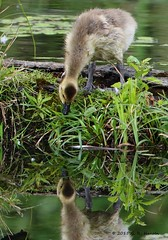 Found a new friend (cobalt_creek) Tags: canon goose wa gosling waterfowl pnw canadagoose brantacanadensis canadagosling birdsofwashingtonstate washingtonstatewildlife wawildlife canon5dmarkiii birdinginwa birdinginthepacificnorthwest wildlifeofthepacificnorthwest greghensen