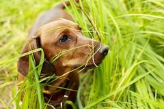 Dachshund (kharlamov_a) Tags: dog pets dachshund tasya