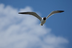 Gull Two
