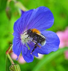 Tree Bumblebee (Pitheadgear) Tags: macro nature landscape wildlife bees insects lancashire bee bumblebee bolton farnworth mosesgatecountrypark mosesgate