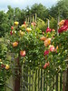 Growing along the fence (bryanilona) Tags: roses fence garden masquerade abigfave