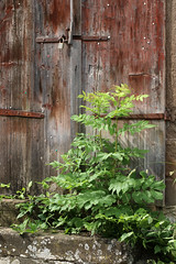 The Door In The Wall (gripspix (catching up slowly)) Tags: door wood plant detail closed peeling paint pflanze weathered holz farbe tr zu verwittert geschlossen abbltternd 20150624