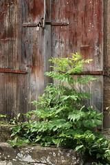The Door In The Wall (gripspix) Tags: door wood plant detail closed peeling paint pflanze weathered holz farbe tr zu verwittert geschlossen abbltternd 20150624