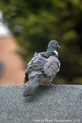 What's Ruffled Your Feathers? (Mike Jones Photos) Tags: bird gardenbirds woodpigeon columbapalumbus nikond60